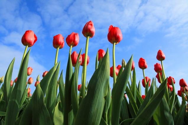 tulips-2573_1280
